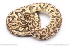 Super pastel leopard adult ball python for sale
