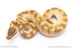 super enchi butter ball python for sale