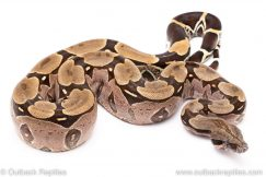 Suriname redtail boa for sale