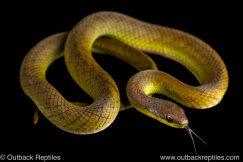 Velvet Swamp Snake erythrolamprus typhlus