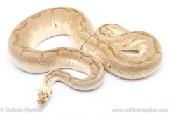 Bumblebee clown adult breeder ball python for sale