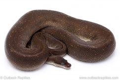 8 ball super cinnamon adult breeder ball python for sale