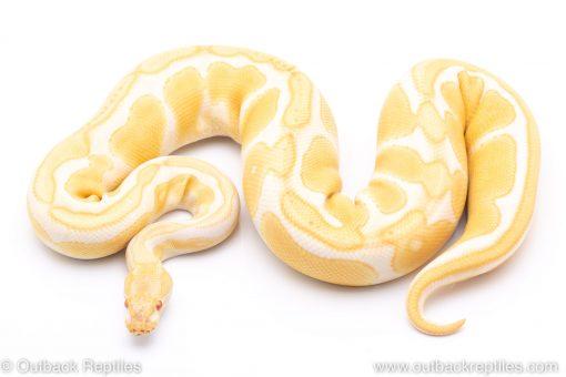ALbino enchi ball python for sale