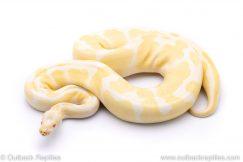 ALbino het VPI Axanthic snow adult breeder ball python for sale