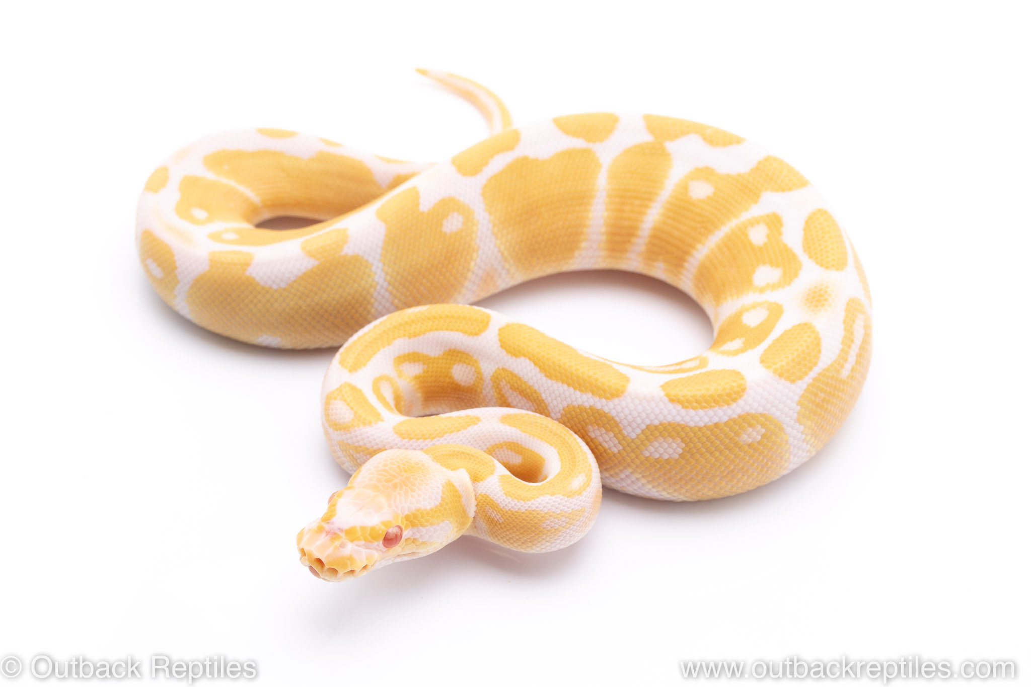 albino het pied ball python for sale