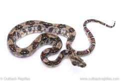 Anery Boa for sale