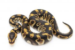 Out of Africa Ball Pythons