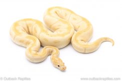 Banana Clown adult breeder ball python for sale
