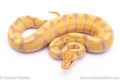 banana enchi het clown ball python for sale