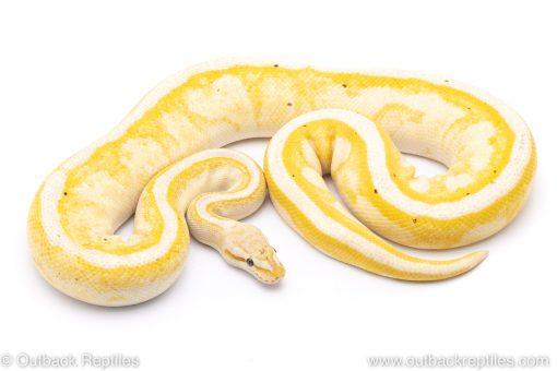 banana g-stripe adult breeder ball python for sale