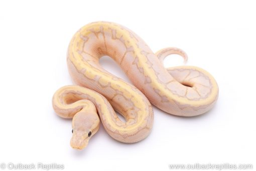 banana sugar pin ball python for sale
