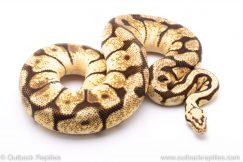 Bumblebee adult breeder ball python for sale