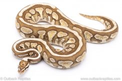 Butter spotnose ball python for sale
