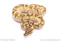 Butter Enchi poss leopard ball python for sale