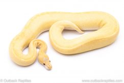 Champagne Candy ball python for sale
