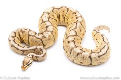 Cinnamon Bumblebee ball python for sale