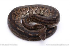 Cinnamon adult breeder ball python for sale