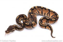 Enchi cinnamon het albino ball python for sale