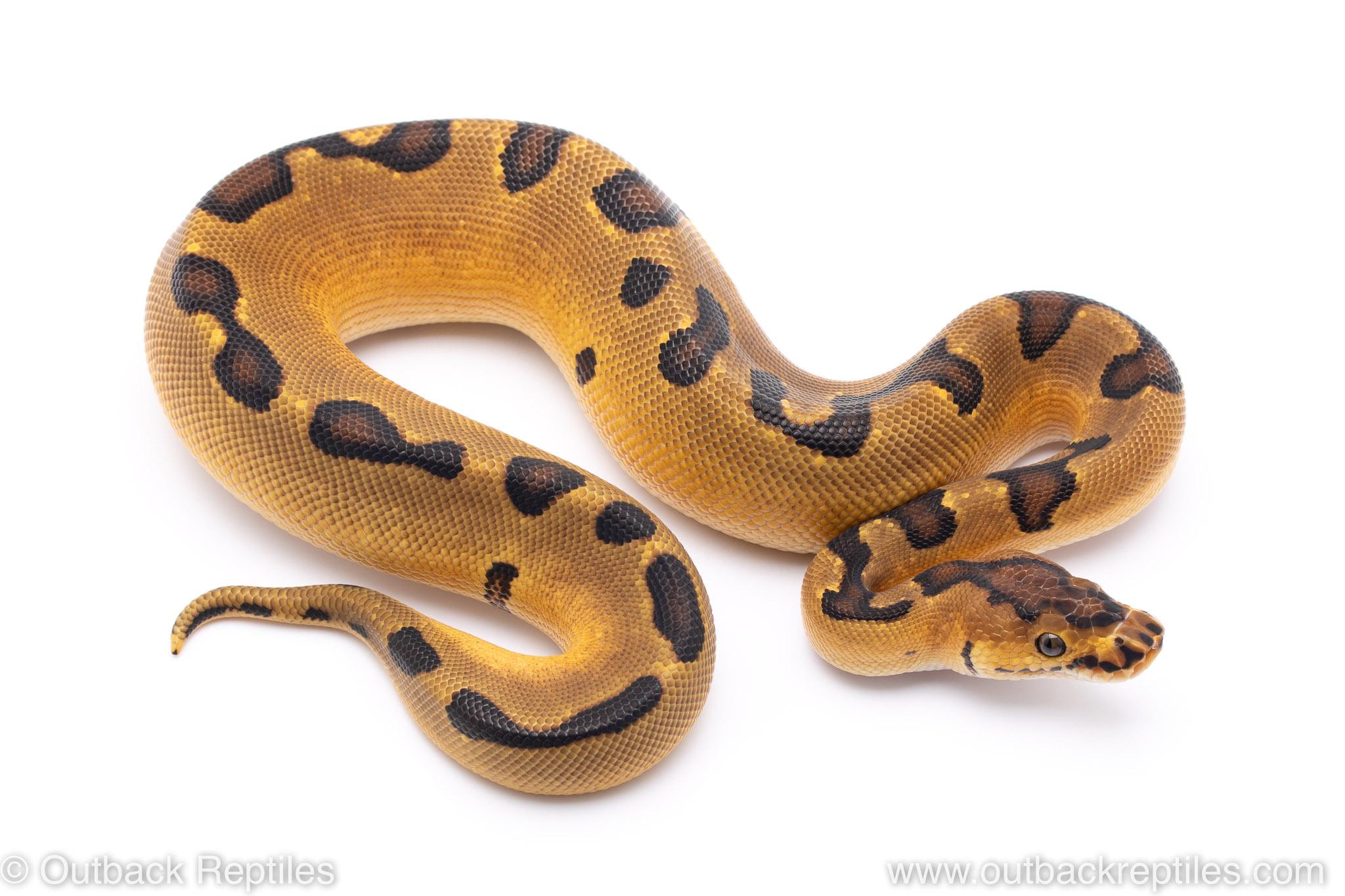 Orange Dream Enchi Clown ball python for sale