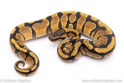 enchi DH lavender clown ball python for sale