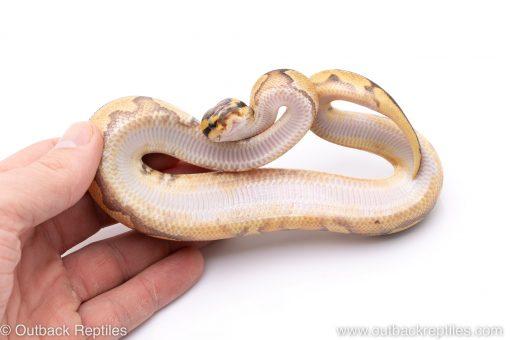 enchi fire poss het pied ball python for sale