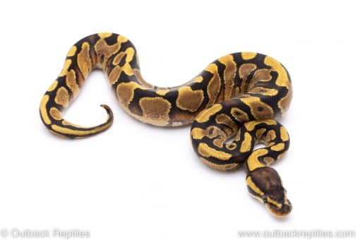 Enchi yellowbelly ball python for sale