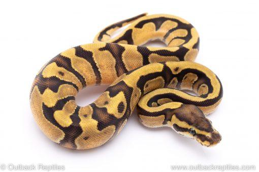 Enchi Fire ball python for sale