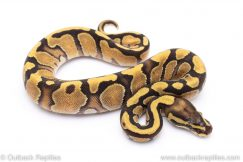 enchi fire ball python for sale