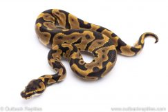 Enchi Leopard ball python for sale