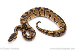 leopard enchi ball python for sale