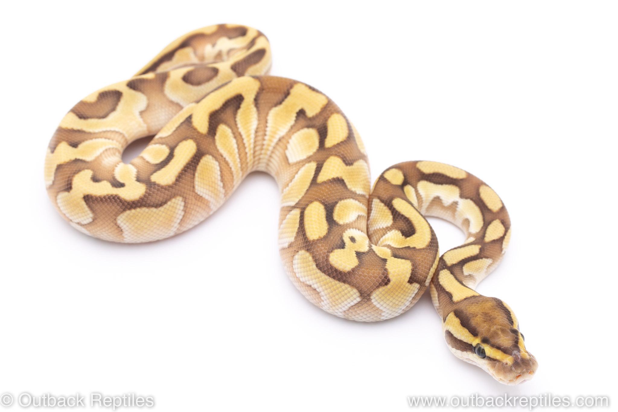 Enchi lesser het Clown ball python for sale