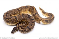Enchi pied ph Albino ball python for sale