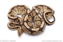 Fire adult breeder ball python for sale