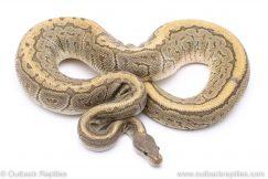 Ghost Black Pastel Pinstripe adult breeder ball python for sale