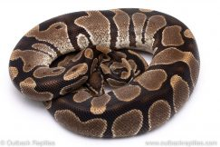 Het Albino adult breeder ball python for sale