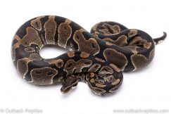 Het Pied adult breeder ball python for sale