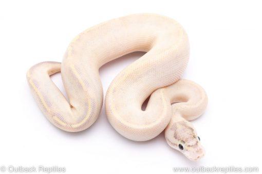 Enchi Ivory ball python for sale