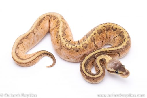 Lemon Blast Sugar ball python for sale
