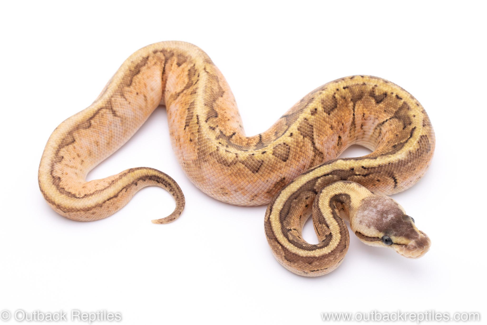 Lemon Blast Sugar ball python for sale