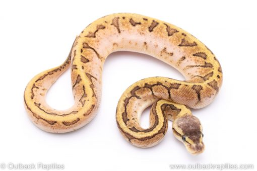 Lemonblast Sugar ball python for sale