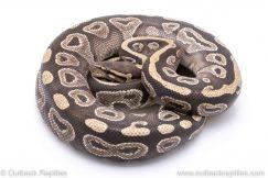 Mojave adult breeder ball python for sale