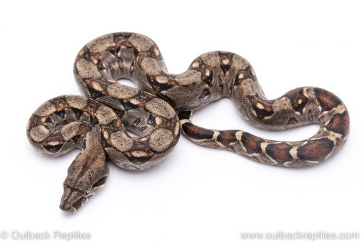 Nicaraguan central american boas for sale