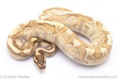 Orange dream Fire Mojave Enchi adult breeder ball python for sale