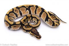 orange dream het pied ball python for sale