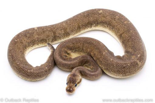Pastel Blackhead Gargoyle adult breeder ball python for sale