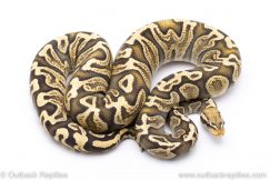 Pastel GHI GHost adult breeder ball python for sale