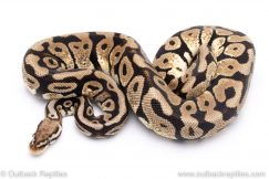 Pastel spotnose ball python for sale