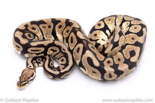 Pastel spotnose ball python for sale