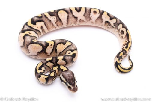 pastel yellowbelly sugar ball python for sale
