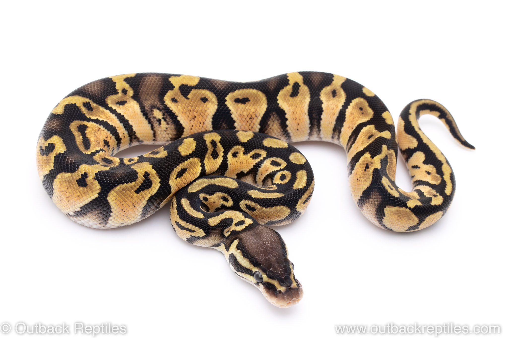 Pastel het pied ball python for sale